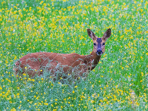 Roe deer in the meadow