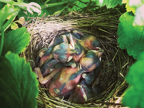 A brood of young blackcaps