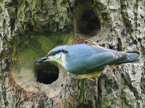 Feeding time for nuthatches