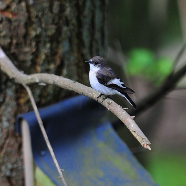 Male pied flycatcher guarding nestbox