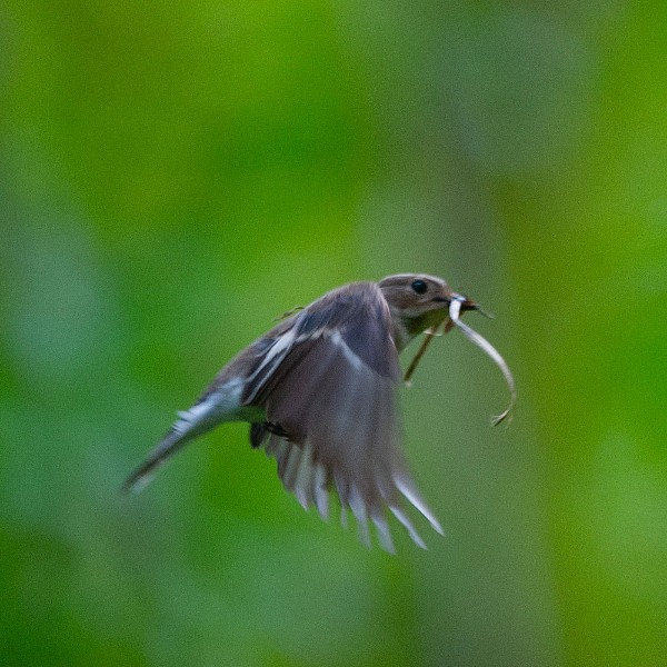 Female pied flycatcher nest building