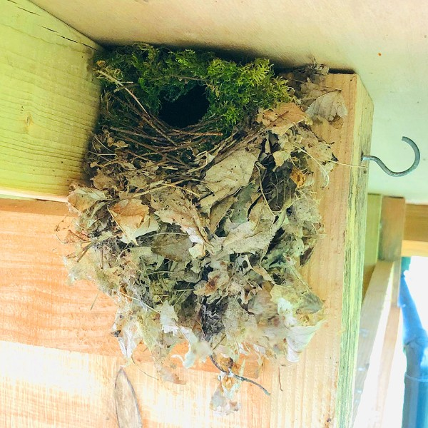 Active wrens' nest at the cabin