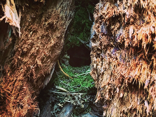 A Wren's nest in the redwood