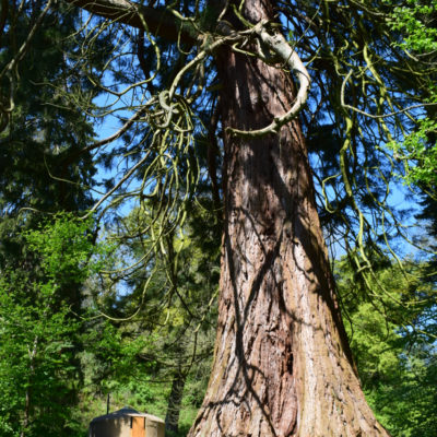 Seren and the redwood in May